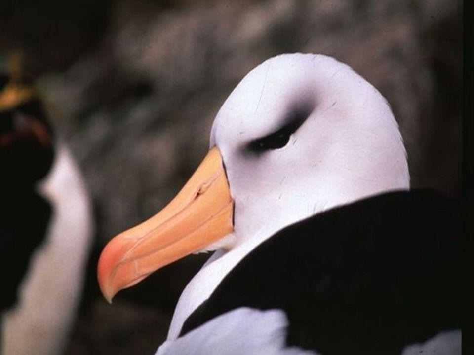 Por divertirse a veces suelen los marineros cazar a los albatros, aves de envergadura, que siguen, en su rumbo indolentes viajeros, al barco que se mece sobre la amarga hondura.
