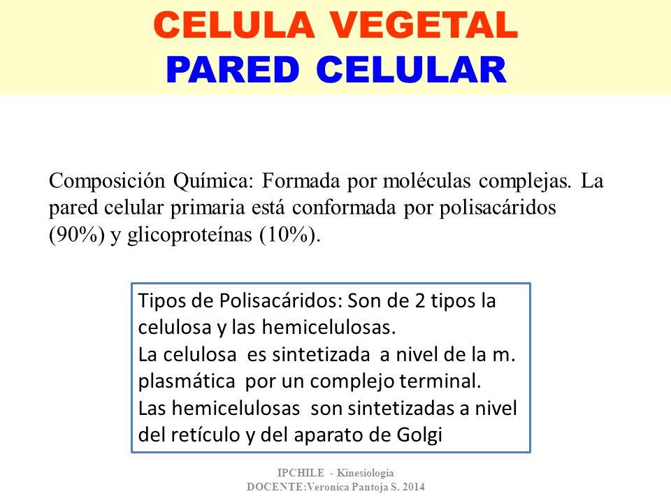 CELULA VEGETAL PARED CELULAR Composición Química: Formada por moléculas complejas. La pared celular primaria está conformada por polisacáridos (90%) y
