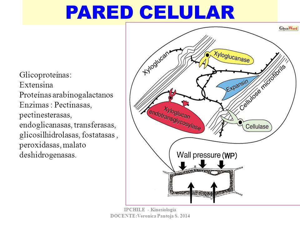 PARED CELULAR Glicoproteínas: Extensina Proteínas arabinogalactanos Enzimas : Pectinasas, pectinesterasas, endoglicanasas, transferasas, glicosilhidro