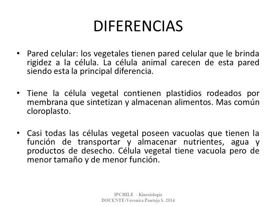 DIFERENCIAS Pared celular: los vegetales tienen pared celular que le brinda rigidez a la célula. La célula animal carecen de esta pared siendo esta la