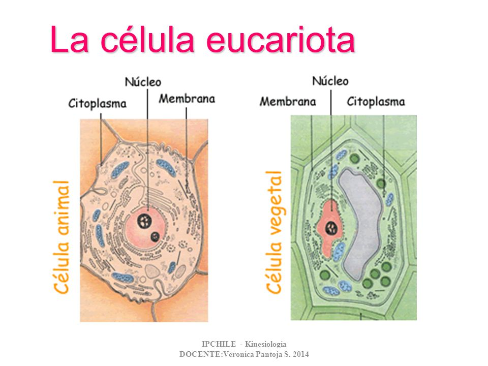 La célula eucariota IPCHILE - Kinesiologia DOCENTE:Veronica Pantoja S. 2014