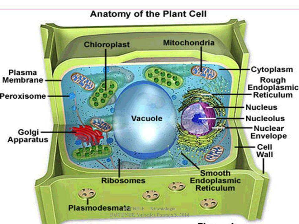 DIFERENCIAS Pared celular: los vegetales tienen pared celular que le brinda rigidez a la célula.