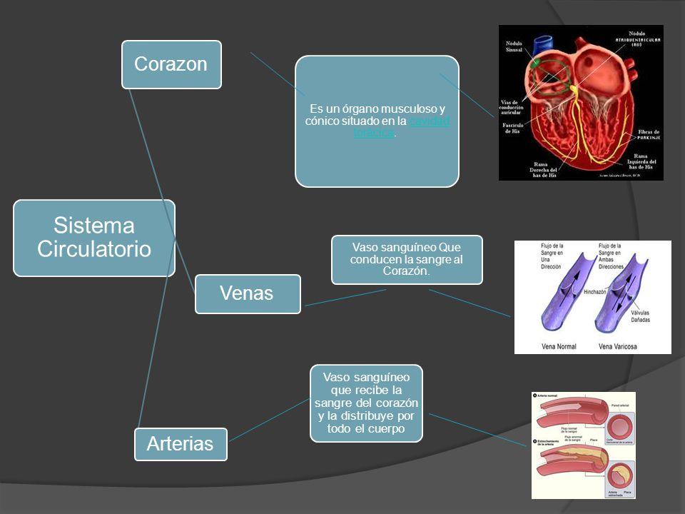 Sistema Circulatorio Corazon Venas Arterias Es un órgano musculoso y cónico situado en la cavidad torácica. cavidad torácica Vaso sanguíneo Que conduc