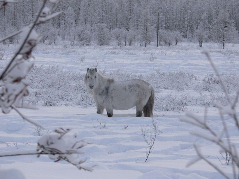 Los animales de la zona se han adaptado a las inclemencias del tiempo; los caballos de Oymyakon, muy robustos, de patas cortas y espeso pelaje, han si