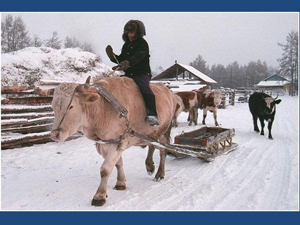 Vacas protegidas. La mayoría de los habitantes trabaja con vacas y caballos