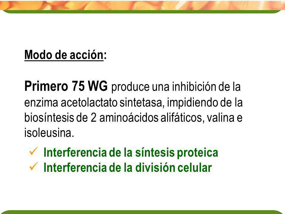 Modo de acción: Primero 75 WG produce una inhibición de la enzima acetolactato sintetasa, impidiendo de la biosíntesis de 2 aminoácidos alifáticos, va