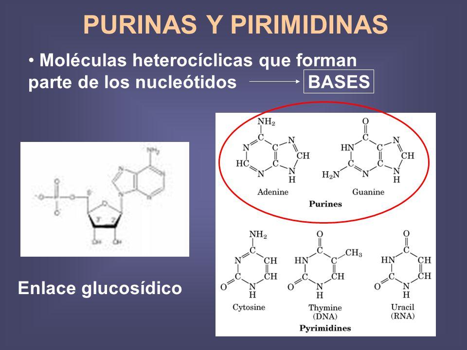 Moléculas heterocíclicas que forman parte de los nucleótidos BASES PURINAS Y PIRIMIDINAS Enlace glucosídico