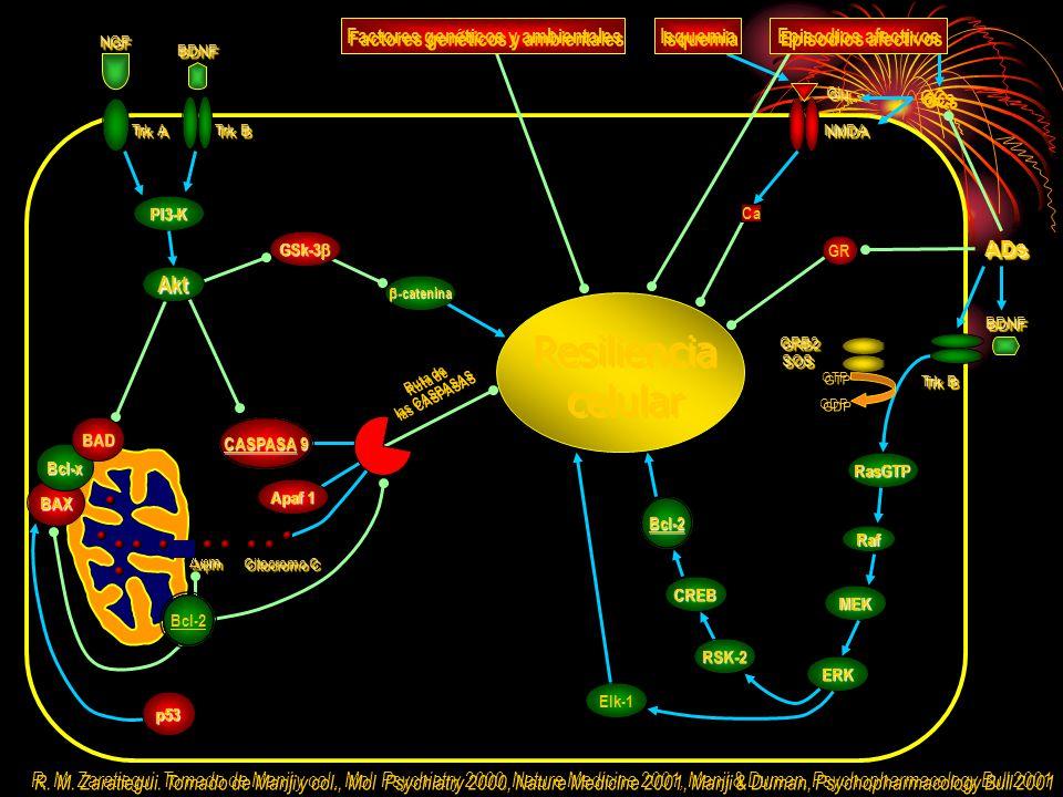 GTP GDP GRB2GRB2SOSSOS RasGTP Raf MEK ERK Trk B Trk A NGFNGF BDNFBDNF GSk-3 GSk-3 Resiliencia celular Resiliencia celular PI3-K Akt CREB Bcl-2 RSK-2 Elk-1 ADsADs -catenina -catenina GR GCs NMDANMDA GluGlu BDNFBDNF Isquemia Factores genéticos y ambientales Episodios afectivos Ca R.