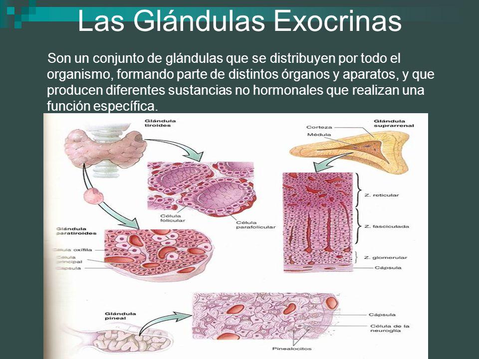 Las Glándulas Exocrinas Son un conjunto de glándulas que se distribuyen por todo el organismo, formando parte de distintos órganos y aparatos, y que p
