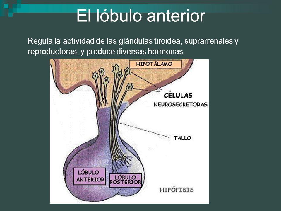 El lóbulo anterior Regula la actividad de las glándulas tiroidea, suprarrenales y reproductoras, y produce diversas hormonas.