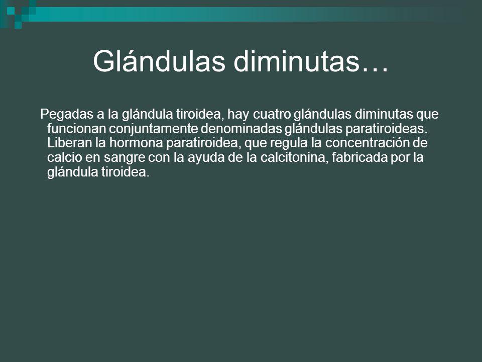 Glándulas diminutas… Pegadas a la glándula tiroidea, hay cuatro glándulas diminutas que funcionan conjuntamente denominadas glándulas paratiroideas. L