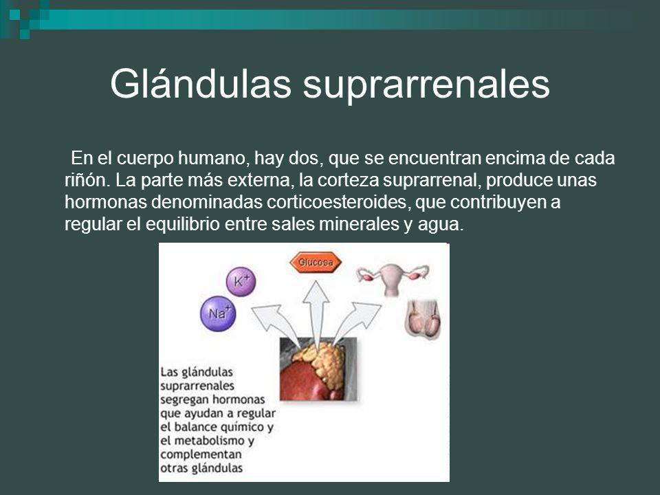 Glándulas suprarrenales En el cuerpo humano, hay dos, que se encuentran encima de cada riñón. La parte más externa, la corteza suprarrenal, produce un