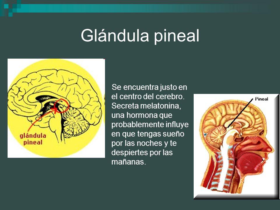 Glándula pineal Se encuentra justo en el centro del cerebro. Secreta melatonina, una hormona que probablemente influye en que tengas sueño por las noc