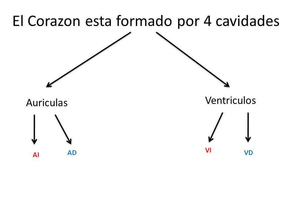 El Corazon esta formado por 4 cavidades Auriculas Ventriculos AI AD VI VD
