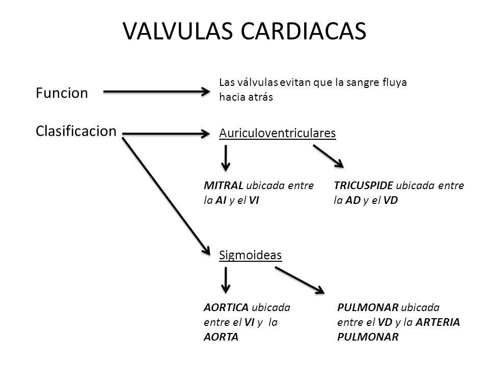 VALVULAS CARDIACAS Funcion Las válvulas evitan que la sangre fluya hacia atrás Clasificacion Auriculoventriculares MITRAL ubicada entre la AI y el VI TRICUSPIDE ubicada entre la AD y el VD Sigmoideas AORTICA ubicada entre el VI y la AORTA PULMONAR ubicada entre el VD y la ARTERIA PULMONAR