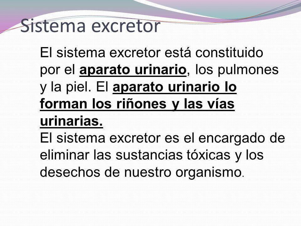 El sistema excretor está constituido por el aparato urinario, los pulmones y la piel. El aparato urinario lo forman los riñones y las vías urinarias.