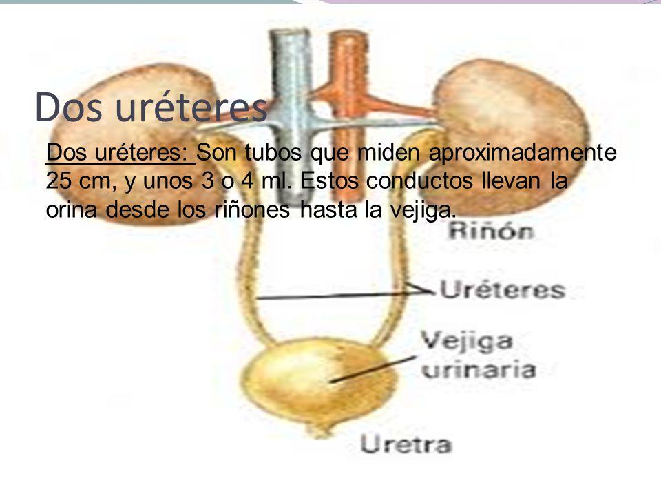Dos uréteres Dos uréteres: Son tubos que miden aproximadamente 25 cm, y unos 3 o 4 ml. Estos conductos llevan la orina desde los riñones hasta la veji