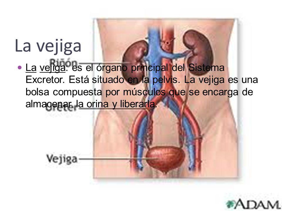 La vejiga La vejiga: es el órgano principal del Sistema Excretor. Está situado en la pelvis. La vejiga es una bolsa compuesta por músculos que se enca