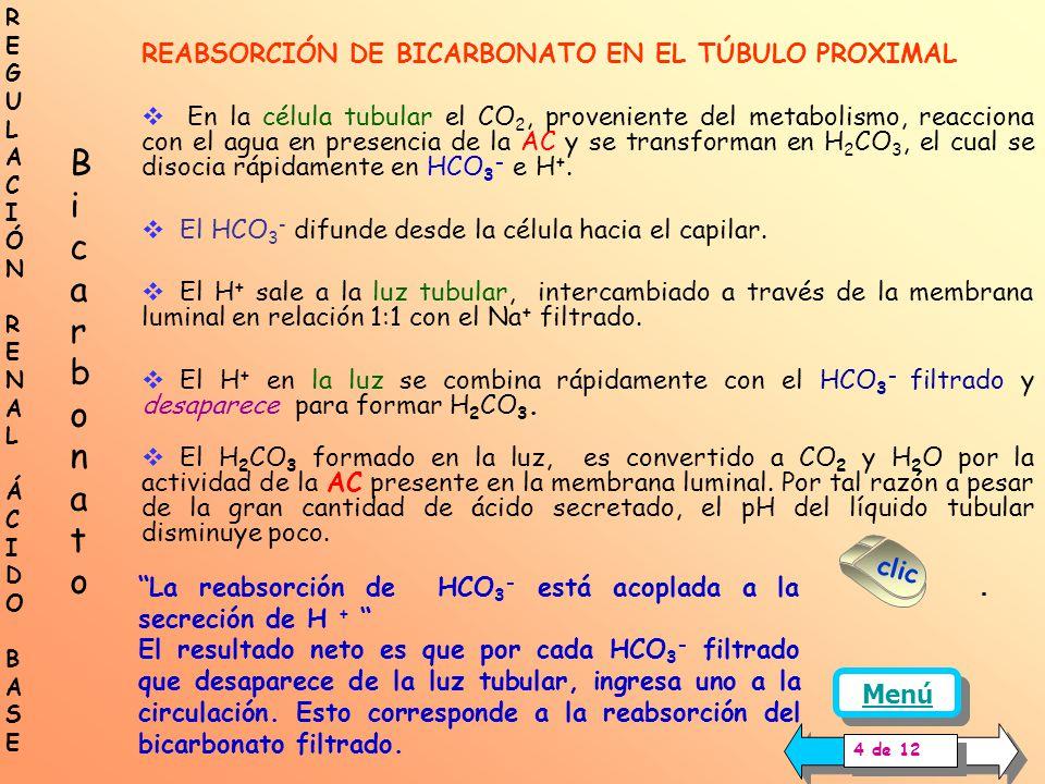 Célula túbulo proximal AC Luz tubular AC Se desarrolla el mecanismo para la reabsorción del bicarbonato filtrado en el túbulo proximal: sangresangre H