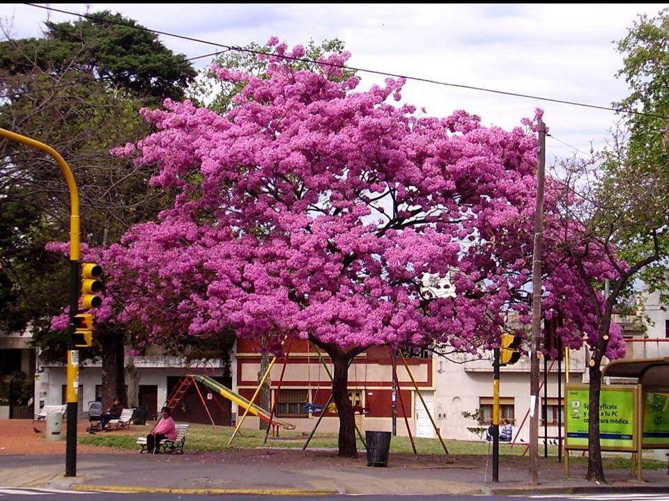 Av. Directorio y Varela El Lapacho más florido que se conozca en Buenos Aires