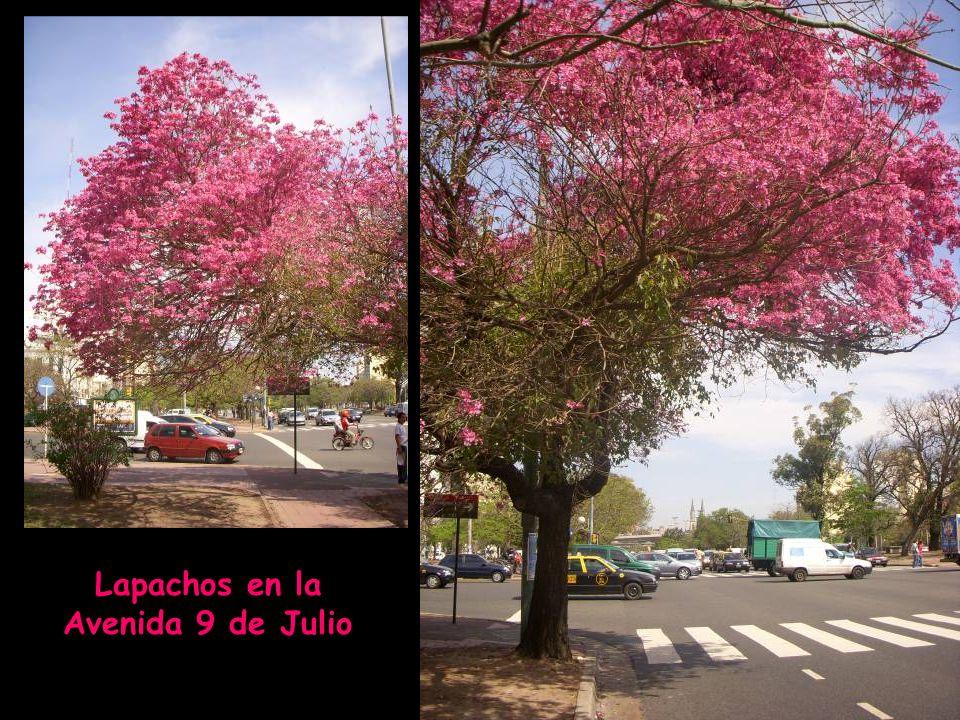 Propiedades de la corteza interna del Lapacho El lapacho es un árbol autóctono del sur de América Latina. En Argentina, Paraguay, Perú, Brasil y Boliv