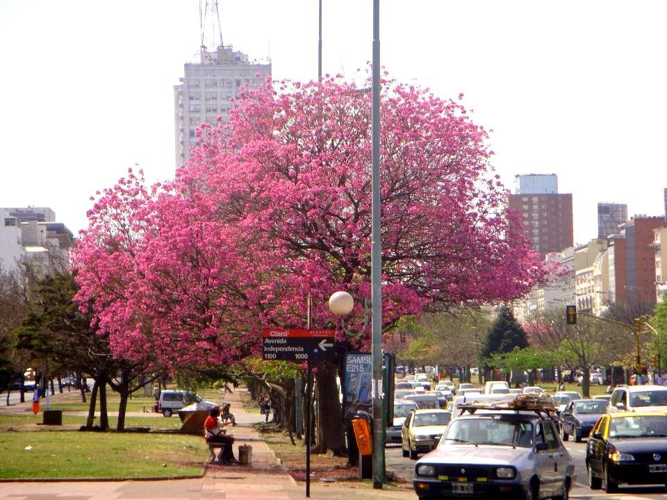 Lapachos en la Avenida 9 de Julio Lapachos en la Avenida 9 de Julio