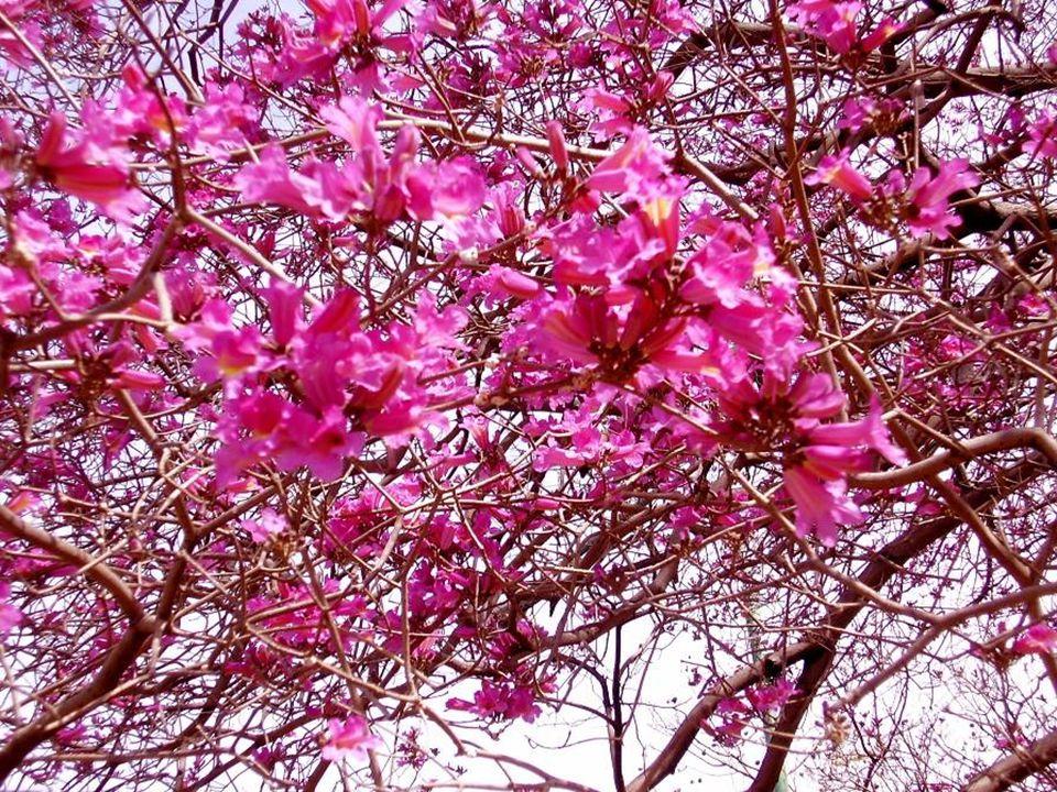 Propiedades de la corteza interna del Lapacho El lapacho es un árbol autóctono del sur de América Latina.