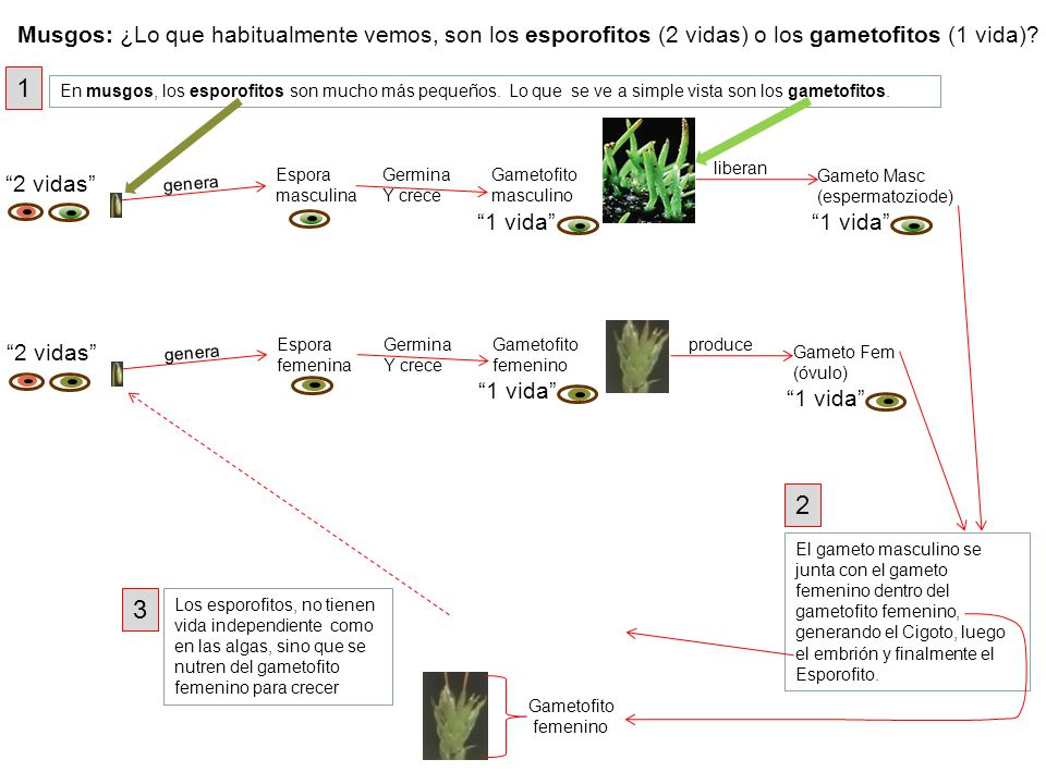 Gameto Masc (espermatoziode) Espora masculina Germina Y crece Gametofito masculino liberan genera 2 vidas 1 vida En musgos, los esporofitos son mucho