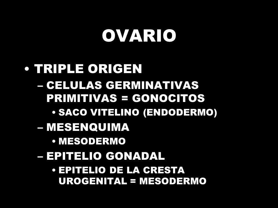 OVARIO TRIPLE ORIGEN –CELULAS GERMINATIVAS PRIMITIVAS = GONOCITOS SACO VITELINO (ENDODERMO) –MESENQUIMA MESODERMO –EPITELIO GONADAL EPITELIO DE LA CRESTA UROGENITAL = MESODERMO