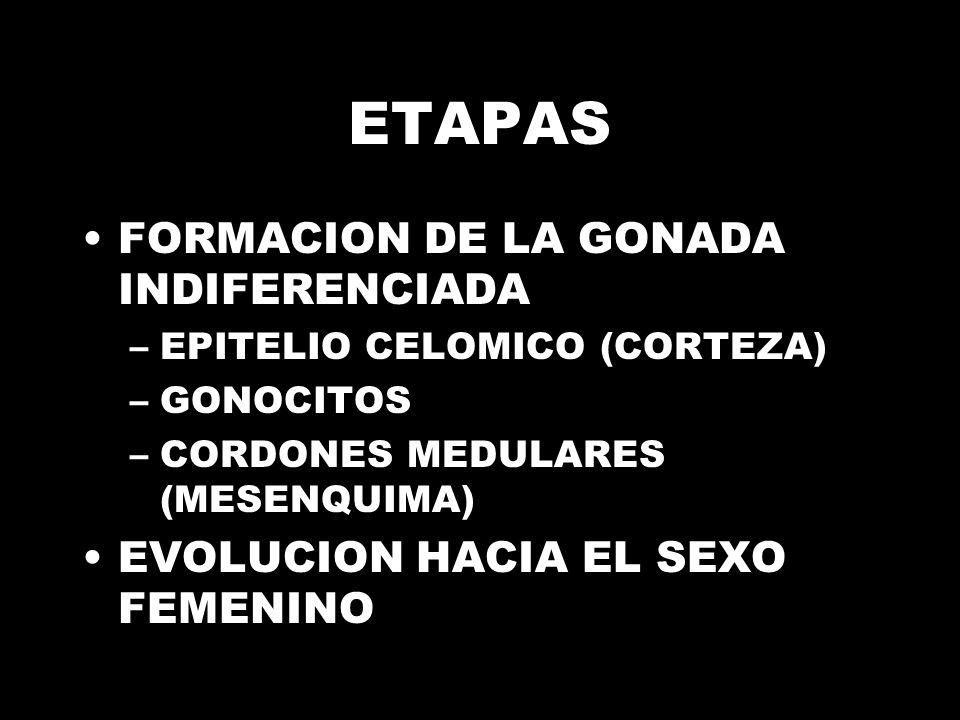 ETAPAS FORMACION DE LA GONADA INDIFERENCIADA –EPITELIO CELOMICO (CORTEZA) –GONOCITOS –CORDONES MEDULARES (MESENQUIMA) EVOLUCION HACIA EL SEXO FEMENINO