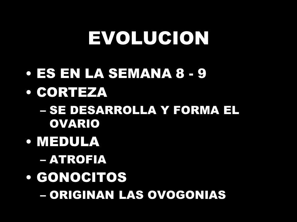 EVOLUCION ES EN LA SEMANA 8 - 9 CORTEZA –SE DESARROLLA Y FORMA EL OVARIO MEDULA –ATROFIA GONOCITOS –ORIGINAN LAS OVOGONIAS