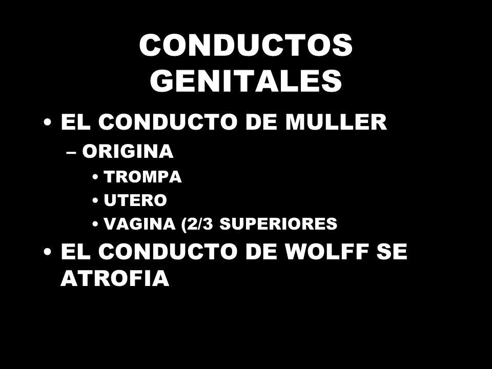 CONDUCTOS GENITALES EL CONDUCTO DE MULLER –ORIGINA TROMPA UTERO VAGINA (2/3 SUPERIORES EL CONDUCTO DE WOLFF SE ATROFIA