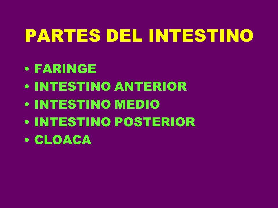 PARTES DEL INTESTINO FARINGE INTESTINO ANTERIOR INTESTINO MEDIO INTESTINO POSTERIOR CLOACA