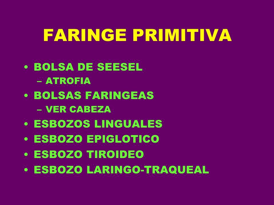 FARINGE PRIMITIVA BOLSA DE SEESEL –ATROFIA BOLSAS FARINGEAS –VER CABEZA ESBOZOS LINGUALES ESBOZO EPIGLOTICO ESBOZO TIROIDEO ESBOZO LARINGO-TRAQUEAL