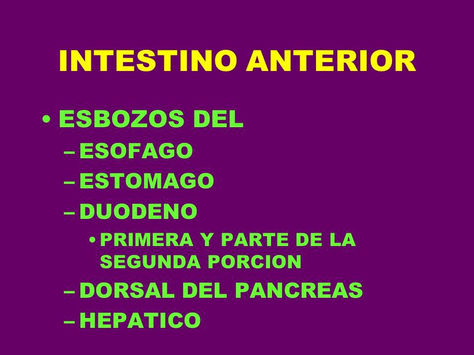 INTESTINO ANTERIOR ESBOZOS DEL –ESOFAGO –ESTOMAGO –DUODENO PRIMERA Y PARTE DE LA SEGUNDA PORCION –DORSAL DEL PANCREAS –HEPATICO