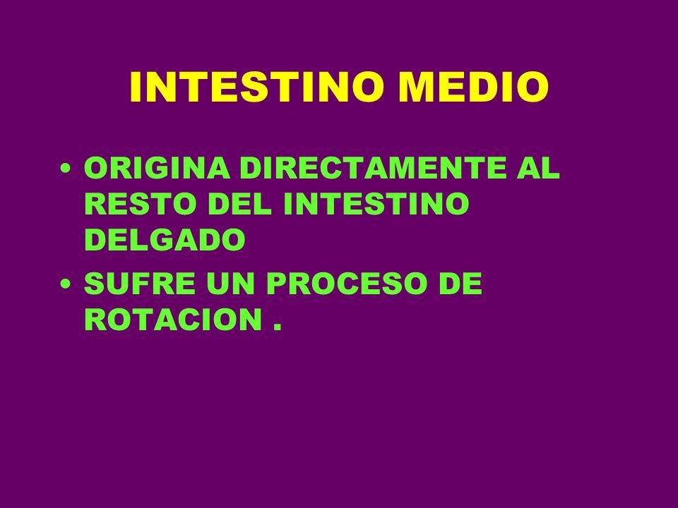 INTESTINO MEDIO ORIGINA DIRECTAMENTE AL RESTO DEL INTESTINO DELGADO SUFRE UN PROCESO DE ROTACION.