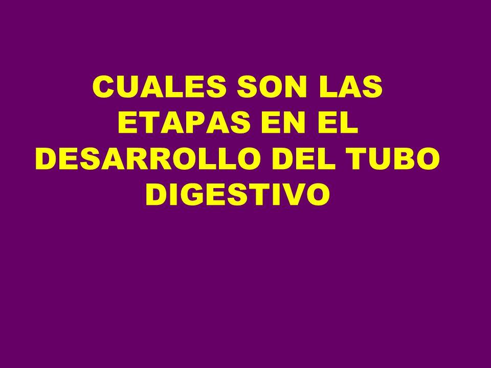 CUALES SON LAS ETAPAS EN EL DESARROLLO DEL TUBO DIGESTIVO