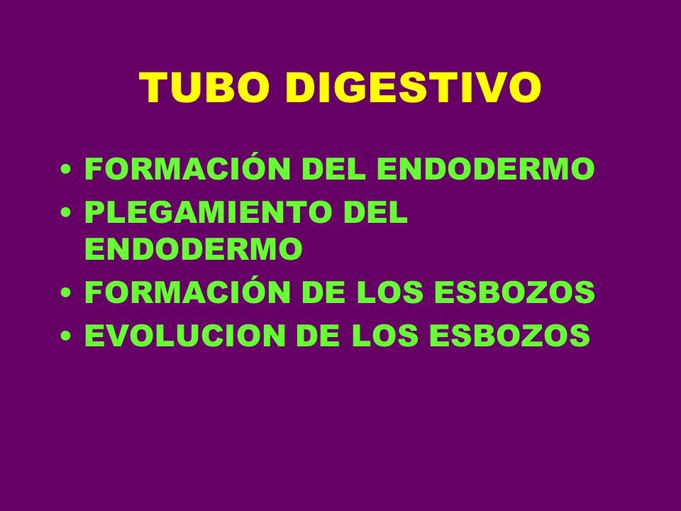 TUBO DIGESTIVO FORMACIÓN DEL ENDODERMO PLEGAMIENTO DEL ENDODERMO FORMACIÓN DE LOS ESBOZOS EVOLUCION DE LOS ESBOZOS