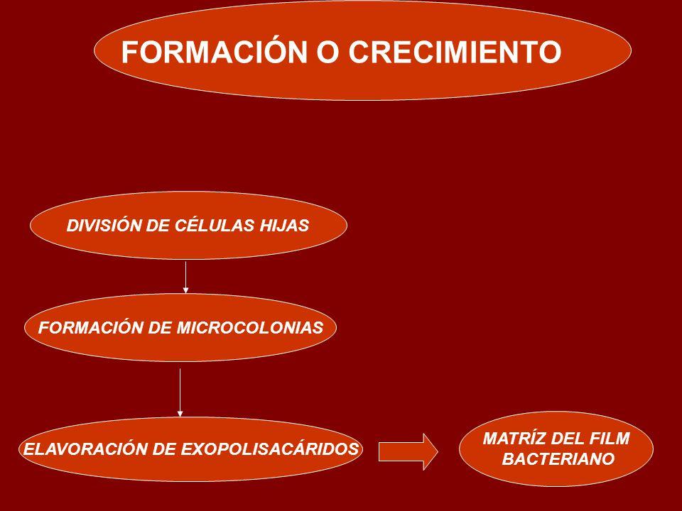FORMACIÓN O CRECIMIENTO DIVISIÓN DE CÉLULAS HIJAS FORMACIÓN DE MICROCOLONIAS ELAVORACIÓN DE EXOPOLISACÁRIDOS MATRÍZ DEL FILM BACTERIANO