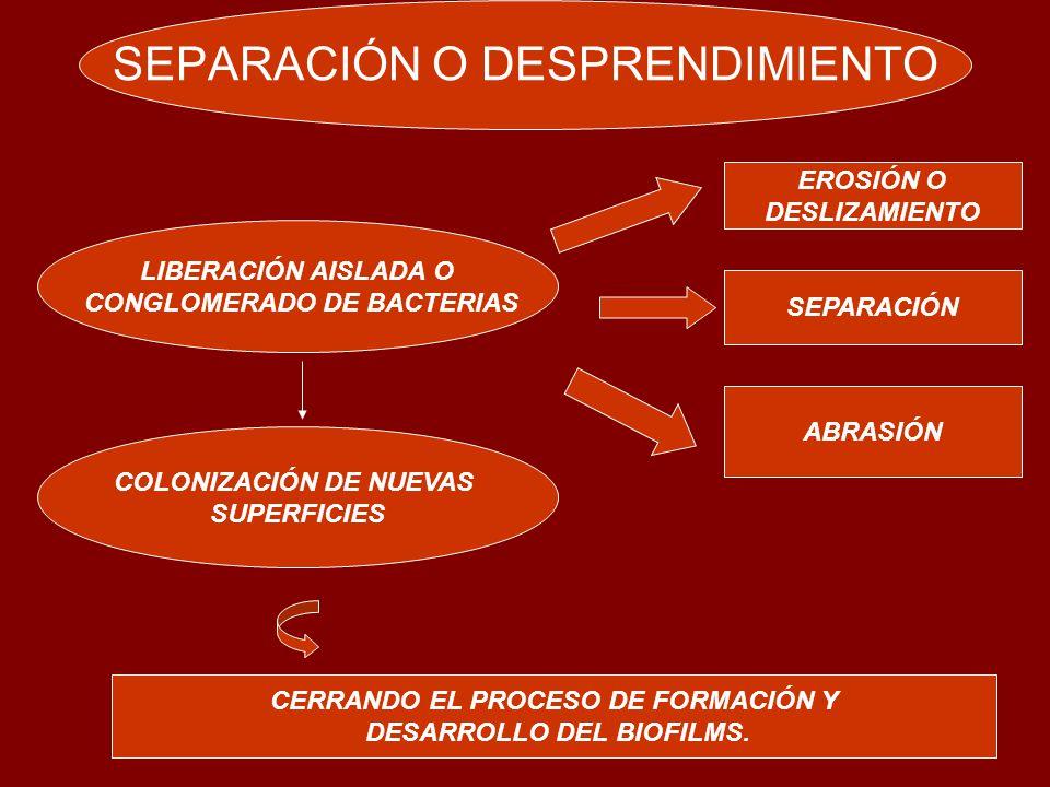 SEPARACIÓN O DESPRENDIMIENTO LIBERACIÓN AISLADA O CONGLOMERADO DE BACTERIAS COLONIZACIÓN DE NUEVAS SUPERFICIES CERRANDO EL PROCESO DE FORMACIÓN Y DESARROLLO DEL BIOFILMS.