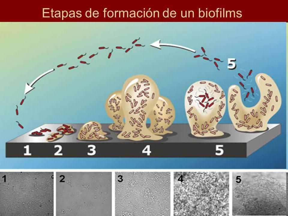 Etapas de formación de un biofilms