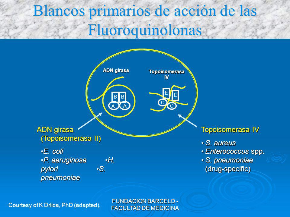 FUNDACION BARCELO - FACULTAD DE MEDICINA Propiedades Farmacológicas Farmacocinética favorable (excelentes V.O) Farmacocinética favorable (excelentes V.O) Los cationes alteran su absorción Los cationes alteran su absorción Los alimentos la retrasan Los alimentos la retrasan Buen Vd (riñón, pulmón, próstata, tracto genital, hueso) Buen Vd (riñón, pulmón, próstata, tracto genital, hueso) Efecto posantibiótico Efecto posantibiótico Eliminación: Renal (Levo - Oflo); Hepática (Grepa - Trova), ojo IR en cipro y sparflo.