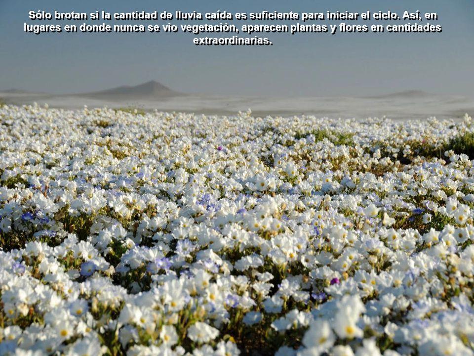El fenómeno se produce de 3 a 8 años, dependiendo de las lluvias y es posible gracias a la capacidad de las plantas, adaptadas al clima desértico, de