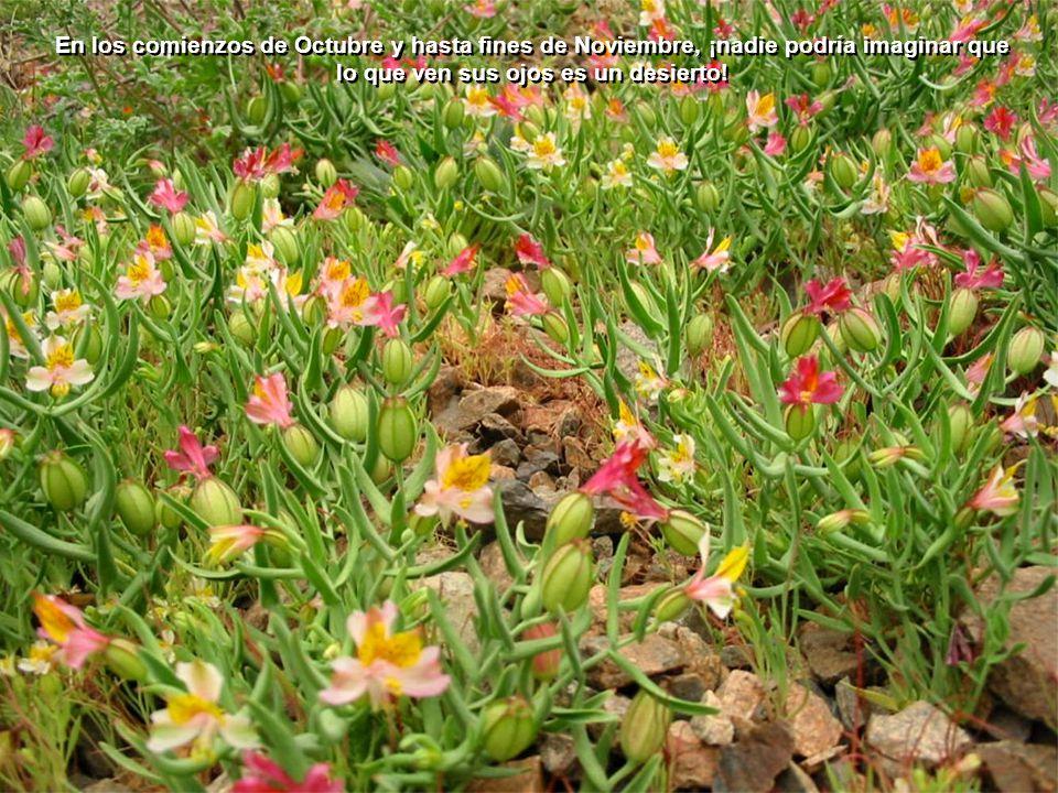 El paisaje desértico se convierte en un jardín, con más de 200 tipos de flores, únicas en el mundo, que cubren valles y cerros. Esto, gracias a las ll