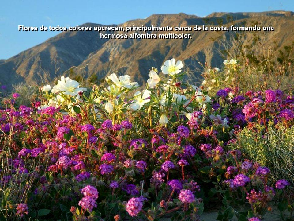 Flores de todos colores aparecen, principalmente cerca de la costa, formando una hermosa alfombra multicolor.
