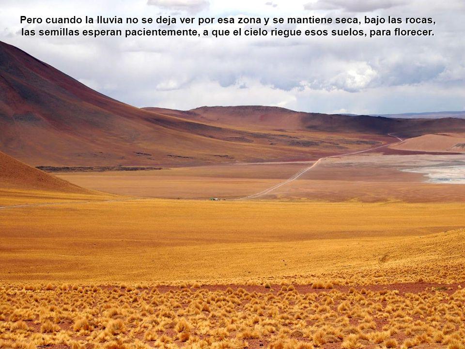 También la garra de león , de tono rojo y amarillo, que puede alcanzar un diámetro de 15 cm.