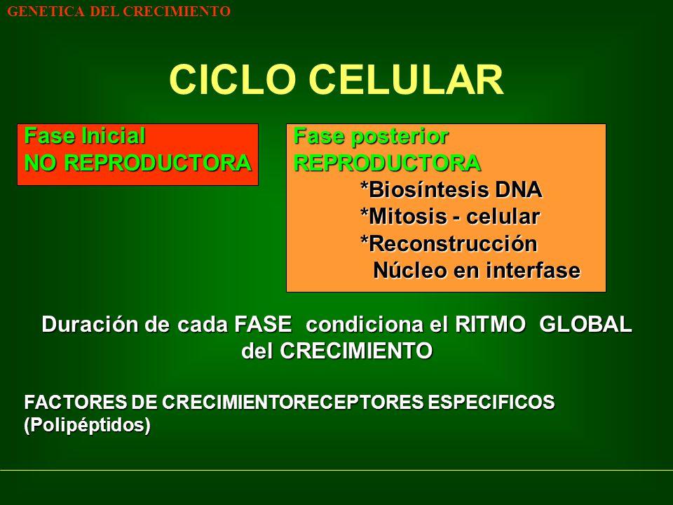 GENETICA DEL CRECIMIENTO CICLO CELULAR Fase InicialFase posterior NO REPRODUCTORAREPRODUCTORA *Biosíntesis DNA *Mitosis - celular *Reconstrucción Núcl