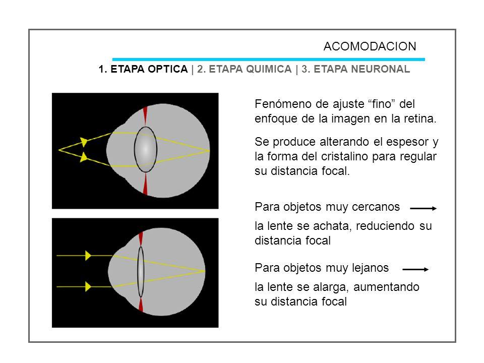 ACOMODACION 1.ETAPA OPTICA | 2. ETAPA QUIMICA | 3.
