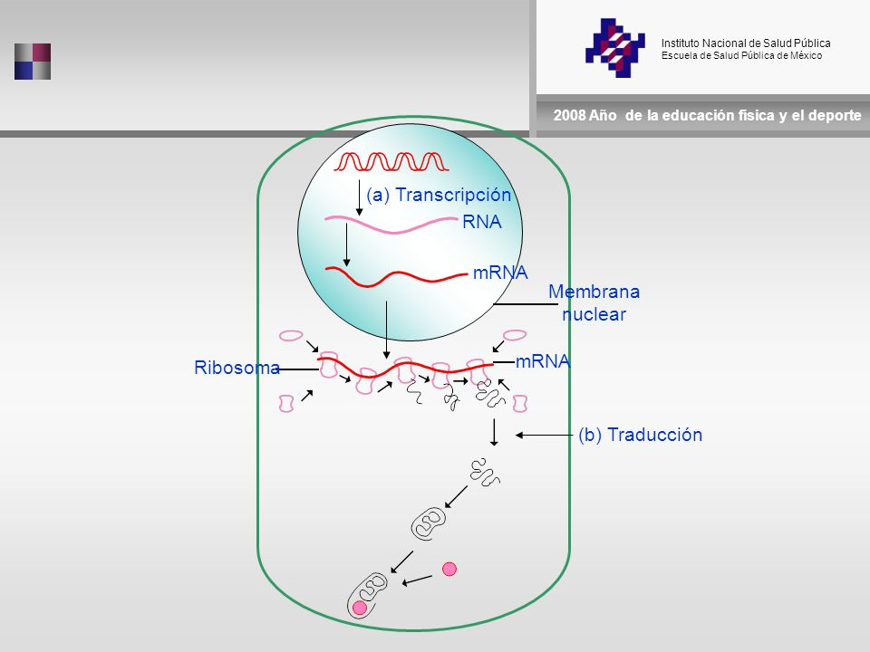 Instituto Nacional de Salud Pública Escuela de Salud Pública de México 2008 Año de la educación física y el deporte (a) Transcripción RNA mRNA Membrana nuclear Ribosoma (b) Traducción