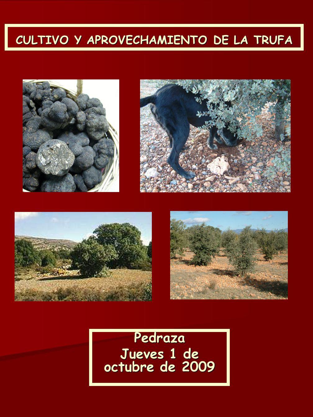 Pedraza Jueves 1 de octubre de 2009 CULTIVO Y APROVECHAMIENTO DE LA TRUFA